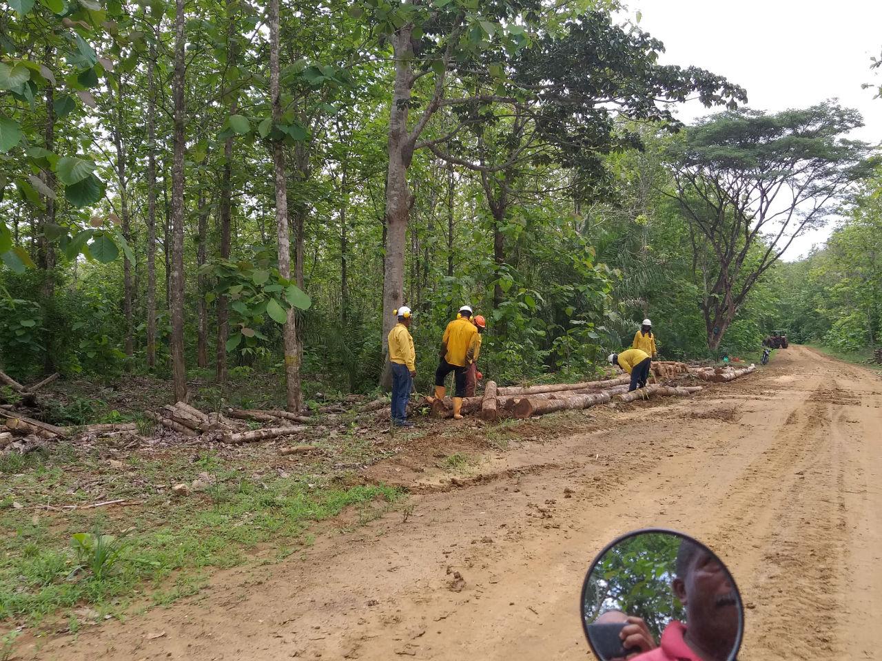 Aunque la sentencia del Tribunal Superior de Cartagena ordena devolver los predios con el proyecto agroindustrial, a diario hay tala de árboles en la zona y entran por lo menos unos cinco camiones a cargar la teca cortada.