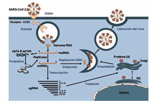 replicación del SARS-CoV-2 en la célula